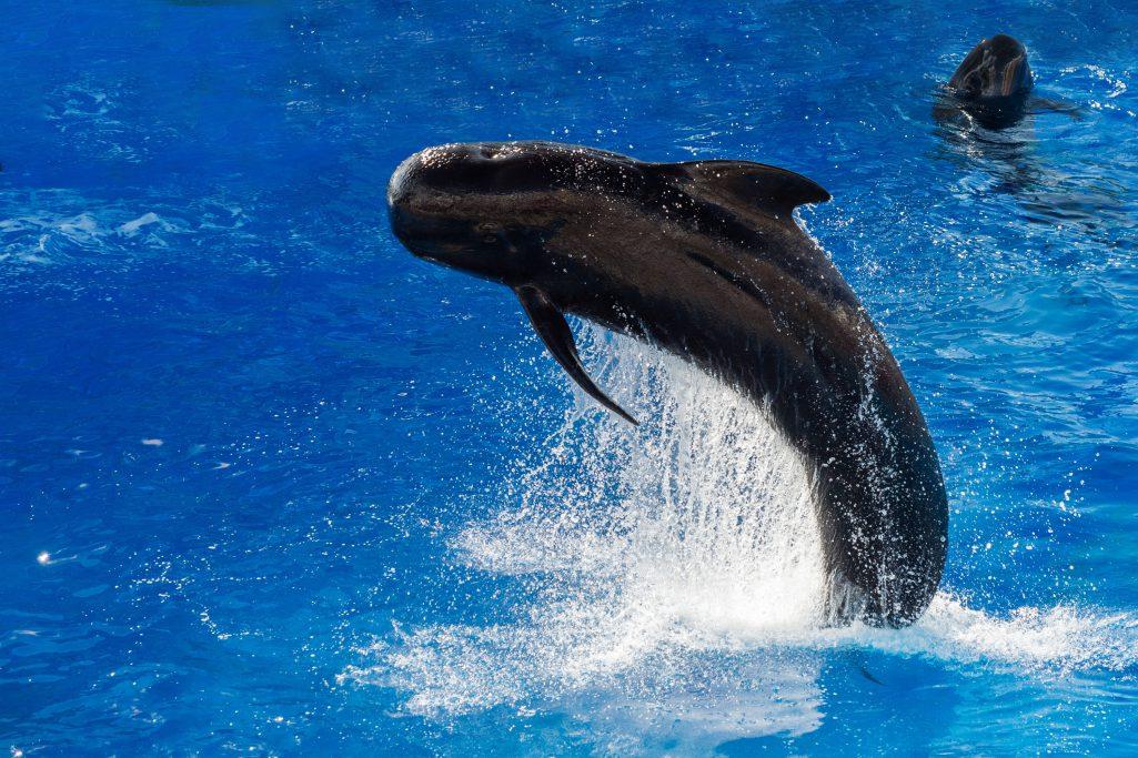 Baleine Pilote Tenerife