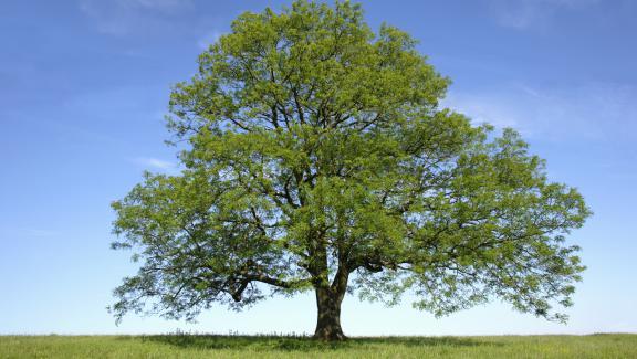 Frêne, arbre sacré du nord