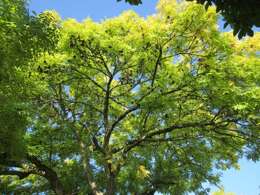 Le frêne arbre du dieu Odin