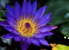 Lotus Bleu hallucinogène