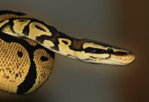 L'hypnôse du serpent, impulsion créatrice